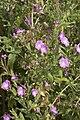 Epilobium hirsutum vallee-de-grace-amiens 80 21072007 3.jpg