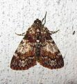Epipaschiinae? (7222101676).jpg