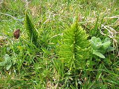 Equisetum telmateia (Habitus).jpg