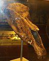 Equus stehlini 2.JPG