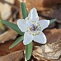 Eranthis pinnatifida (flower s2).jpg