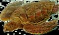 Eretmochelys imbricata Haeckel.png