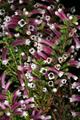 Erica macowanii subsp. lanceolata 1DS-II 3-8321.png