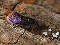Eriocrania semipurpurella (41617795811).jpg