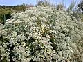 Eriogonum giganteum 1c.JPG