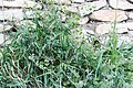 Erodium cicutarium-Bec de grue à feuille de Ciguë-20150415.jpg