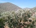 Eucalyptus forest3.jpg