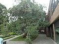 Eucalyptus perrinana 01.jpg