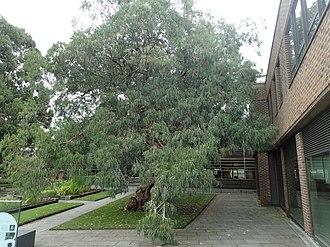 Eucalyptus perriniana - Mature E. perriniana in Kew Gardens