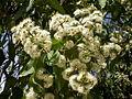 Eucalyptus torelliana 2c.JPG