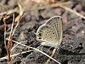 Euchrysops cnejus Fabricius, 1798 – Gram Blue at Madayippara.jpg