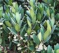 Euclea racemosa - Sea Guarrie Tree - flowers 6.JPG
