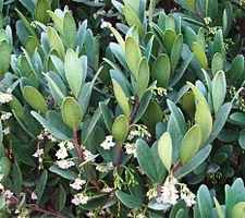 Euclea racemosa - Sea Guarrie Tree - flowers 6.JPG