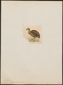 Eudromia pentlandii - 1820-1860 - Print - Iconographia Zoologica - Special Collections University of Amsterdam - UBA01 IZ18900257.tif