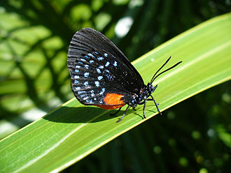 Belidae - The Atala butterfly (Eumaeus atala) can only survive because the belid Rhopalotria slossoni pollinates its foodplant.