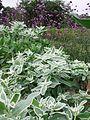 Euphorbia (289632730).jpg