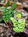 Euphorbia amygdaloides ENBLA04.jpg