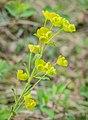 Euphorbia amygdaloides in Aveyron (4).jpg