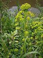 Euphorbia esula 01.jpg