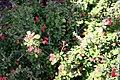Euphorbia milii var. splendens 2zz.jpg
