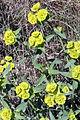 Euphorbia serrata (15484707002).jpg