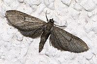 Eupithecia.innotata.7141.jpg