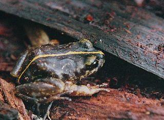 <i>Eupsophus emiliopugini</i> Species of frog