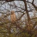 Eurasian eagle-owl at Keoladeo National Park.jpg