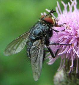 Eurithia-sp-Tachinid-fly-20100730a.JPG