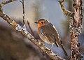 European Robin (130620185).jpeg