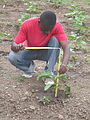 Evaluating eggplant growth at SOIL's experimental farm outside Cap-Haitien (16594270115).jpg