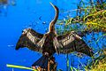Everglades - Shark Valley - female Anhinga drying its wings (12259791643).jpg