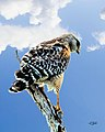 Everglades Red-shouldered Hawk (17655941900).jpg