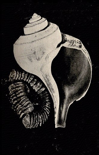 Augusta Foote Arnold - Image: FMIB 52397 Fulgur canalliculava (whelk) and egg cases