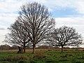 Fagales - Alnus glutinosa - 2.jpg