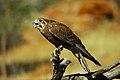 Falco berigora 1 (cropped).jpg