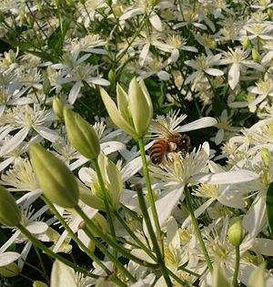 Honeybee on sweet autumn clematis