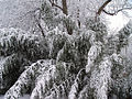 Fallen tree in snowstorm.jpg