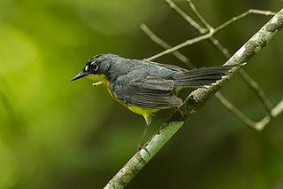 Fan-tailed warbler species of bird