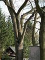 Feldulme, Naturdenkmal, Cottbuser Weg 10, Cottbus.JPG