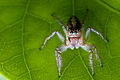 Female Salticidae-Northeast Region, Brazil a.jpg