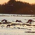 Fenicotteri sullo Stagno di Cabras al Tramonto.jpg