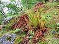 Fern in Woods below Birk Fell - geograph.org.uk - 173204.jpg