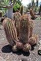 Ferocactus-pilosus.jpg