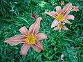 Feuerlilien in der Irlacher Au (2).jpg