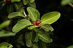 Ficus benghalensis Indian banyan with fruits JEG2976.jpg
