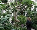 Ficus carica tree.jpg