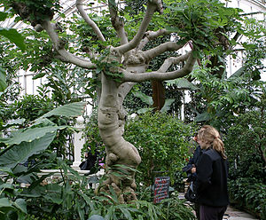 Ficus - A Ficus carica