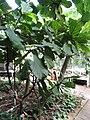Ficus lyrata - Copenhagen Botanical Garden - DSC07378.JPG