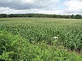 Field of Young Sweet Corn - geograph.org.uk - 492880.jpg